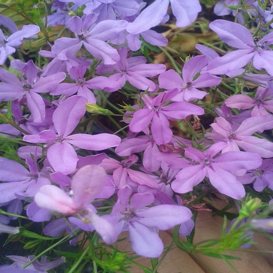 Lobelia waterfall lavender. Hanging Basket Plants