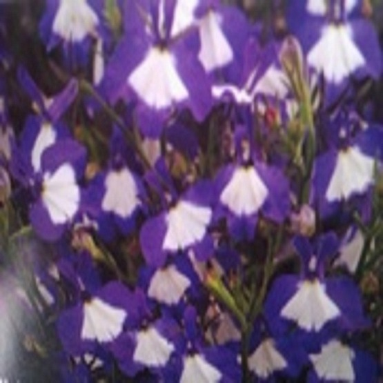 Lobelia waterfall blue ice 5 plug plants. Hanging Basket Plants