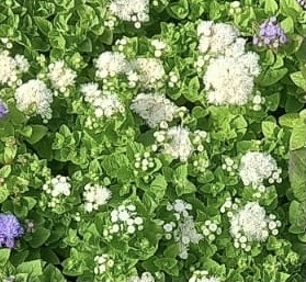 Ageratum mixed 40 plug plants. Bedding plugs.
