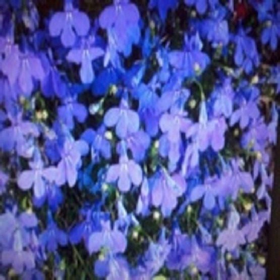 Lobelia Crystal Palace 40 Plug Plants 499 Bedding Plugs