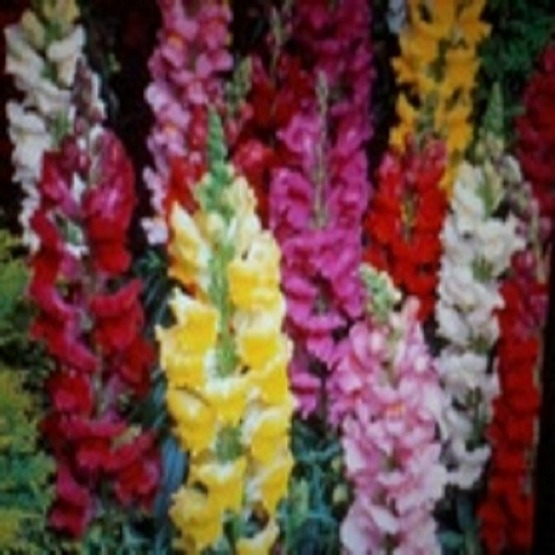 Antirrhinum mixed snap dragons 40 plug plants. Bedding plugs.