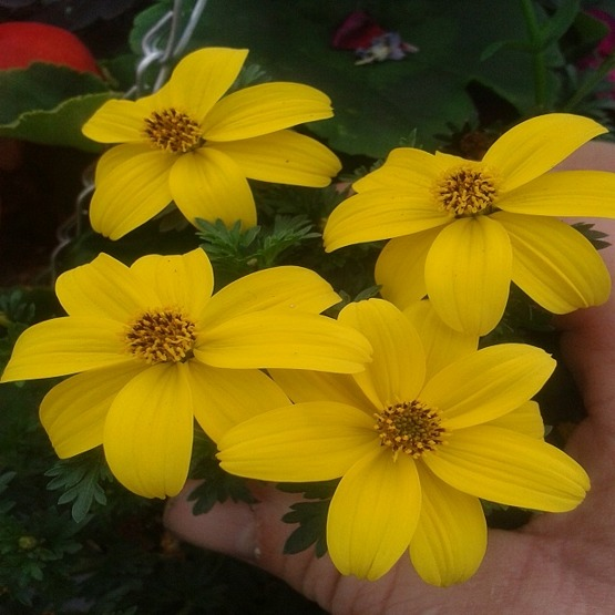 Bidens golden star  5 plug plants Hanging Basket Plants