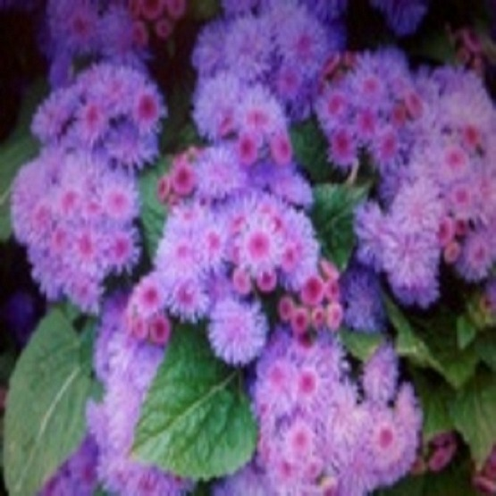 Ageratum blue 40 plug plants. Bedding plugs.