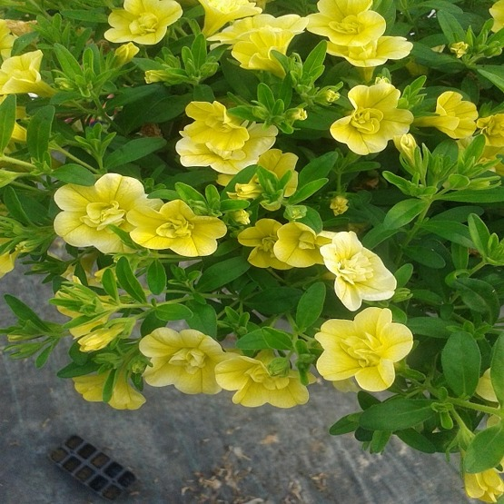 Calibrachoa aloha double citric 5 plug plants. Trailing Petunias and Calibrachoa