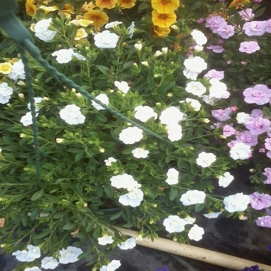 Calibrachoa double can can white 5 plug plants . Trailing Petunias and Million Bells