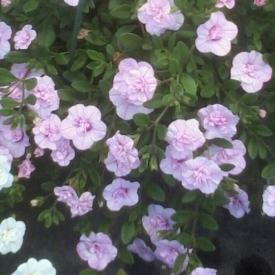 Calibrachoa double can can light pink 5 plug plants . Trailing Petunias and Million Bells