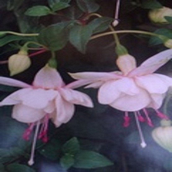 Harry gray 5 plug plants Trailing Variety Fuchsia