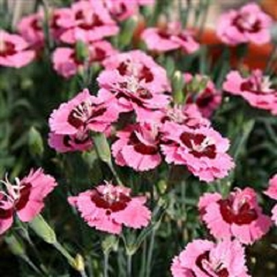Dianthus Evening Star 5 plug plants from Dianthus