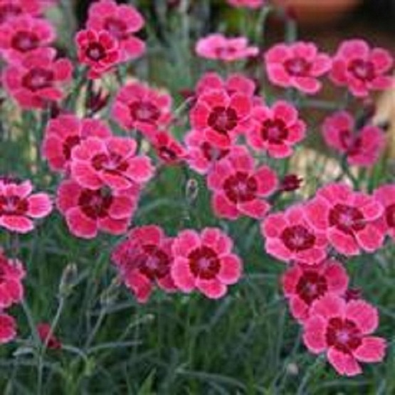 Dianthus Red Dwarf 5 plug plants from Dianthus