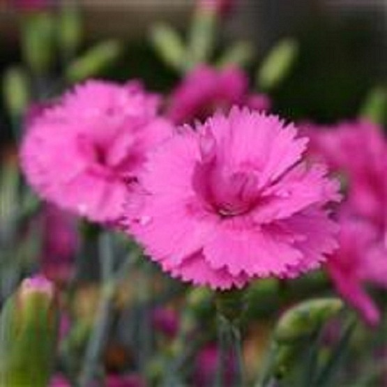Dianthus Tickled Pink 5 plug plants from Dianthus