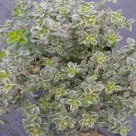 Herbs Thyme Silver Queen 5 plug plants from Thyme