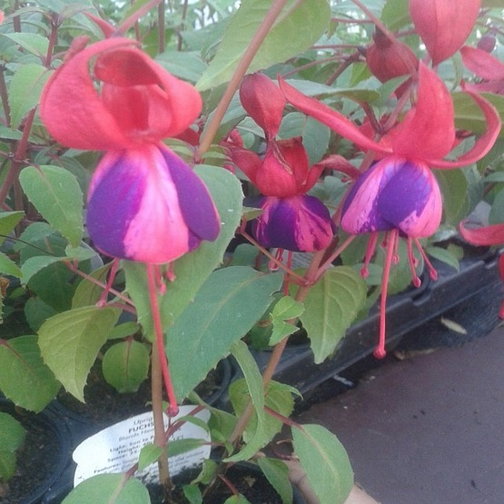 Blands new stripe 5 plug plants Upright Fuchsia