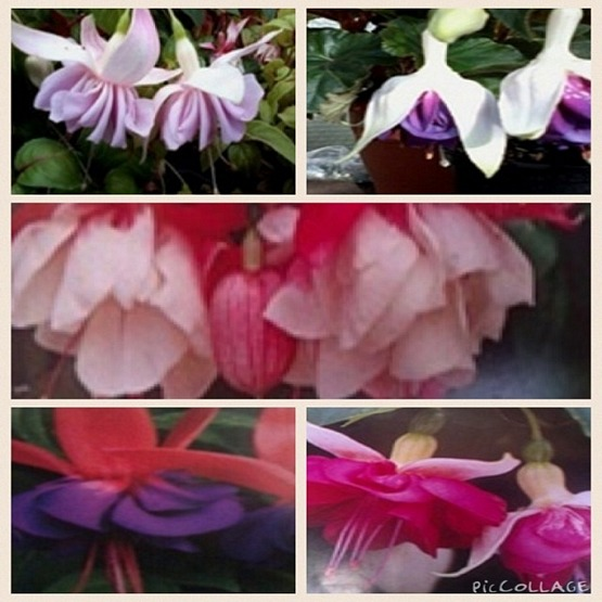 Specialist range fuchsia mixed surprise 5 plug plants from Specialist Range Fuchsia