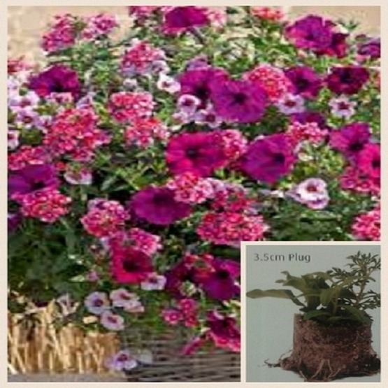Trixi Cherry kiss 5 plug plants available from 25 of march Trixi hanging baskets