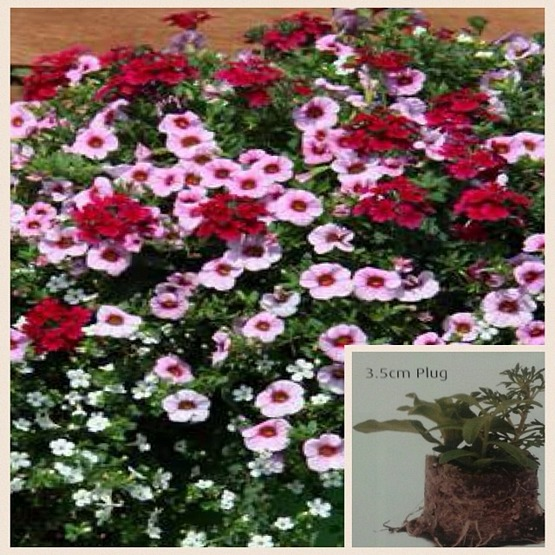Trixi Lipgloss 5 plug plants available from 25 of march Trixi hanging baskets