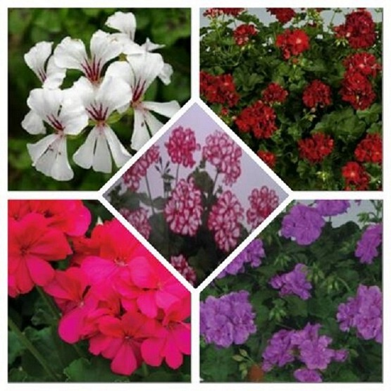Geraniums trailing mixed surprise 5 plug plants from Geraniums Upright and Trailing