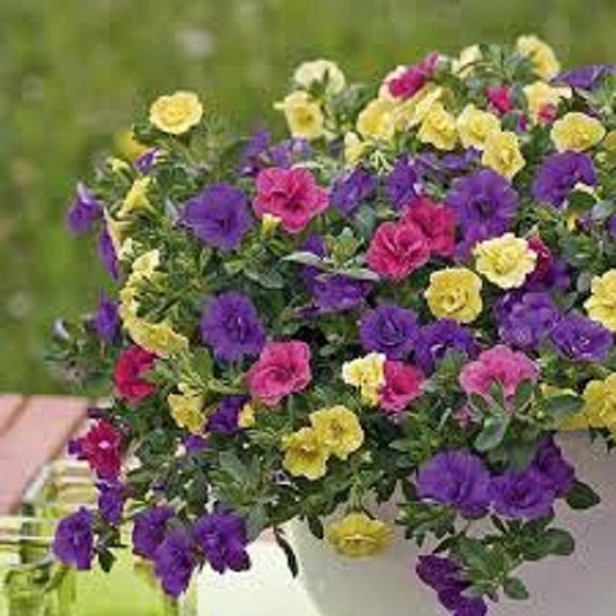 Trixi petticoat 5 plug plants available from 26 march Trixi hanging baskets