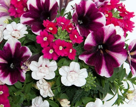 Trixi Amarena Cream 5 plug plants available from 21 march Trixi hanging baskets