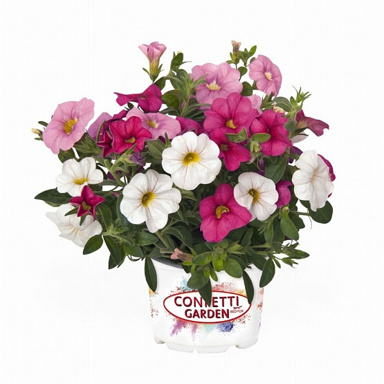Confetti garden pink Fusion 5 plug plants Trixi hanging baskets