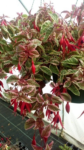 Sunray 5 plug plants from Unique Variegated Fuchsia