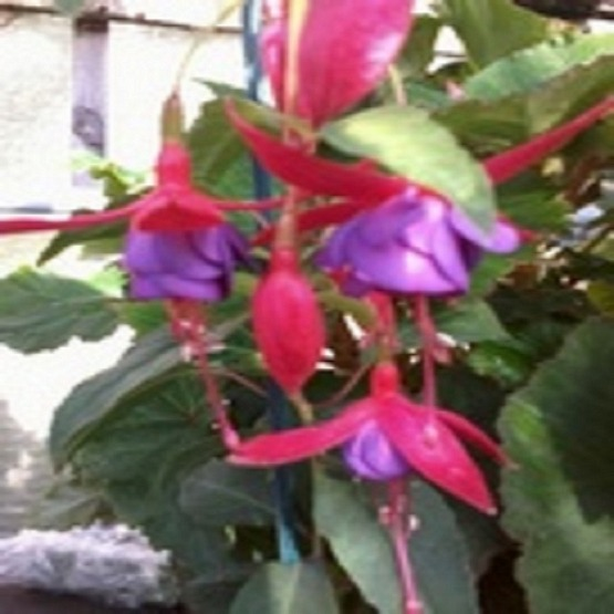 Army nurse 5 plug plants Hardy Bush Fuchsia