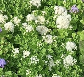 Ageratum mixed 40 plug plants.
