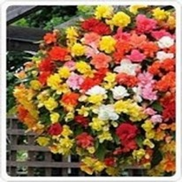 Begonia trailing basket varieties 5 plug plants.