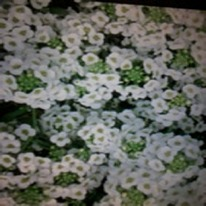 Alyssum white 40 plug plants.