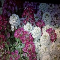 Alyssum mixed colours 40 plug plants.
