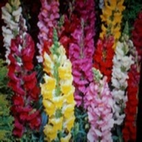 Antirrhinum mixed snap dragons 40 plug plants.