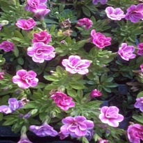 Calibrachoa aloha double pink star 5 plug plants.