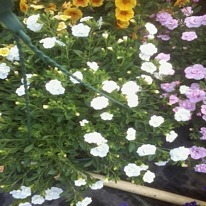Calibrachoa double can can white 5 plug plants .