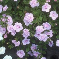 Calibrachoa double can can light pink 5 plug plants .