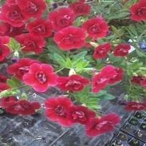 Calibrachoa aloha double  red 5 plug plants .