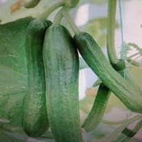 Cucumber F1 femspot 5 plug plants from