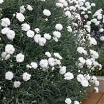 Dianthus Arctic Star 5 plug plants from
