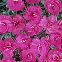 Dianthus Warden Hybrid 5 plug plants from