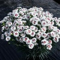 Dianthus Coconut Sundae 5 plug plants from