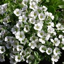Gypsophila cerastioides 5 plug plants from
