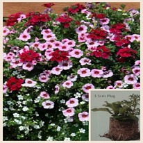 Trixi Lipgloss 5 plug plants available from 25 of march
