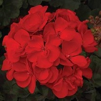 Americana Deep Red Geraniums cutting raised 5 plug plants from