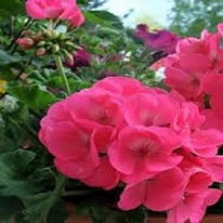 Americana Pink Geranium The Best of the Best 5 plug plants from.