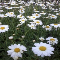 Argyranthemum white 5 plug plants